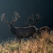 Gilded stags