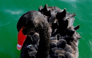 15th Feb 2021 - Black Swan