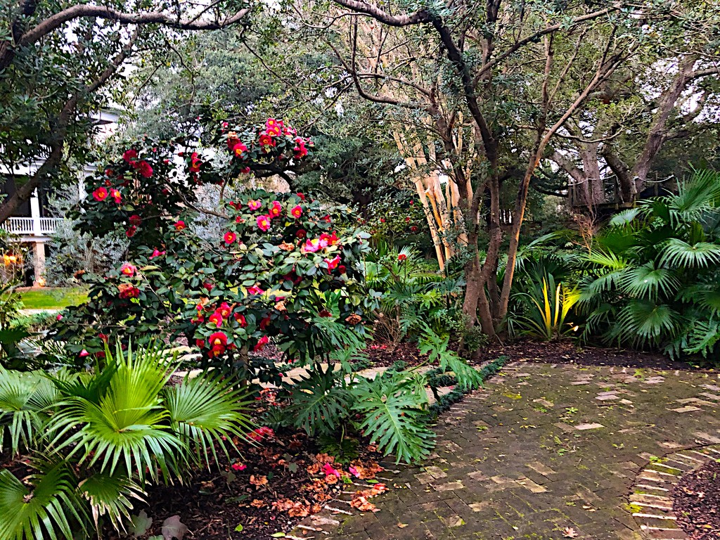 Charleston garden and camellias by congaree