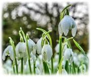 16th Feb 2021 - Snowdrops And Bokeh