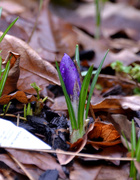 16th Feb 2021 - Purple Crocus