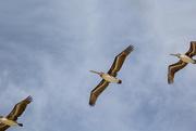 16th Feb 2021 - Pelicans