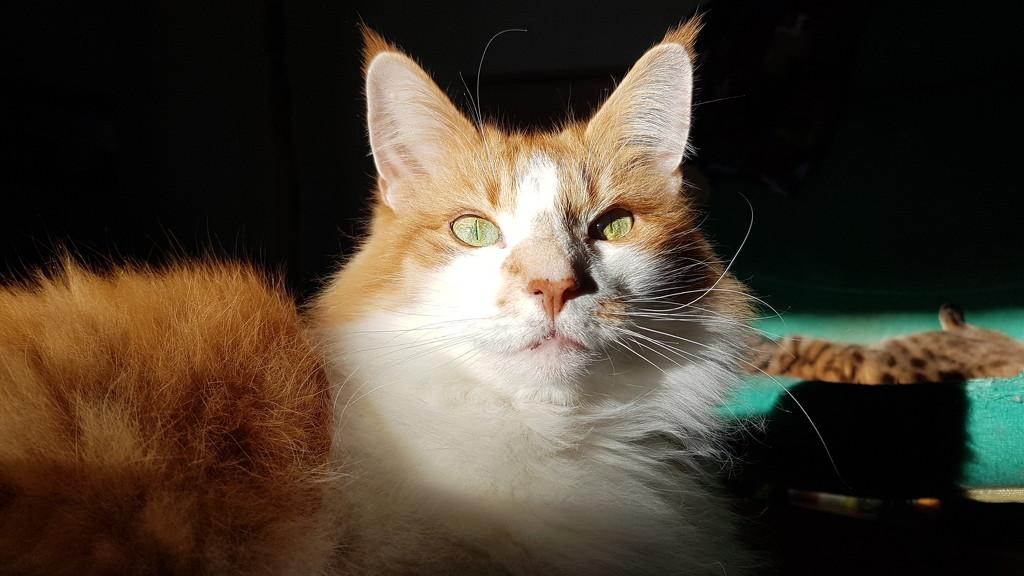 Ginger in sun  by katriak