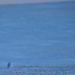 Snowy owl after sunset on the prairies
