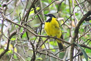 16th Feb 2021 - Golden Whistler