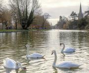 15th Feb 2021 - Stratford swans
