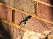 16th Feb 2021 - Lizard on Brick