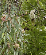 17th Feb 2021 - Bird in a Tree