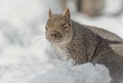 17th Feb 2021 - Squirrel Stink Eye