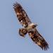 Young Bald Eagle!