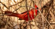 16th Feb 2021 - Mr Cardinal Hiding in the Bush!