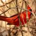 Mr Cardinal Hiding in the Bush!