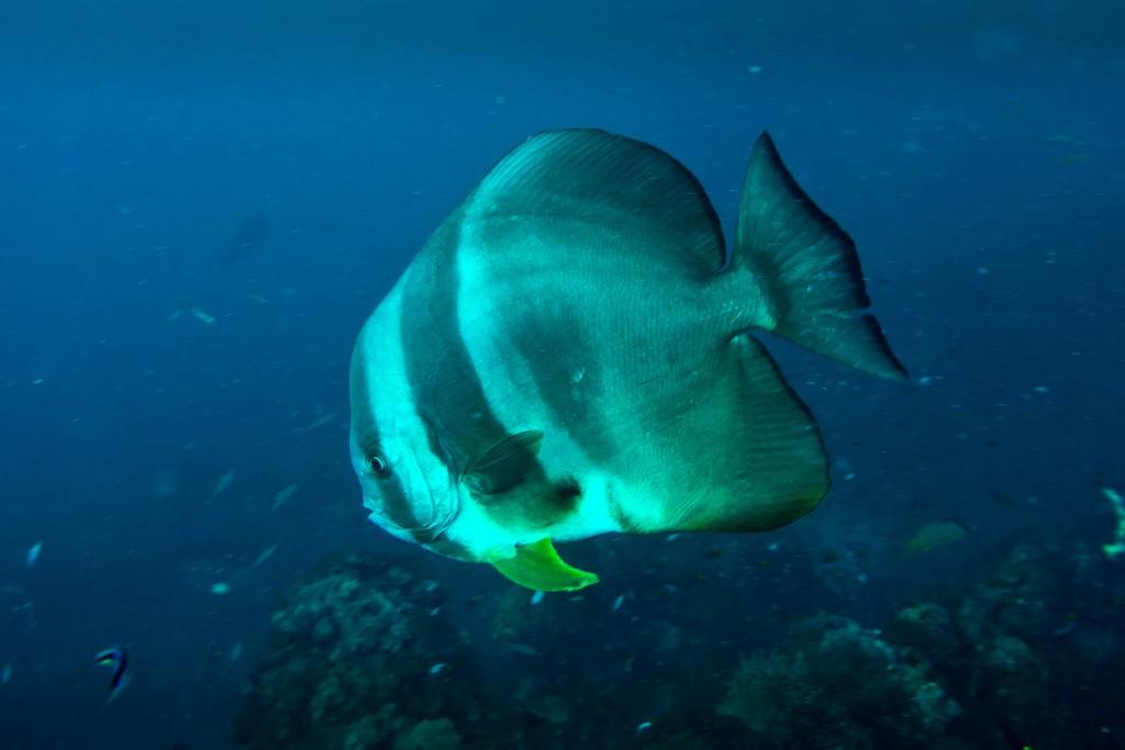 Batfish by pusspup