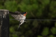 17th Feb 2021 - Bird about to be on a wire!