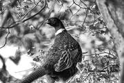 17th Feb 2021 - Portrait of a Pheasant