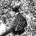Portrait of a Pheasant by jamibann