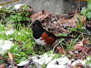17th Feb 2021 - Spotted Towhee
