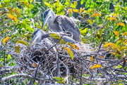 17th Feb 2021 - Baby Herons!