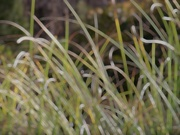17th Feb 2021 - Pampas grass abstract...