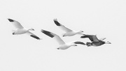 17th Feb 2021 - Snow Geese on the Move