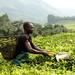 Tea plantation worker  by stefanotrezzi
