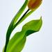 Lightpad Tulip