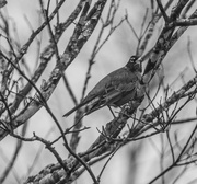 17th Feb 2021 - American Robin