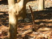 17th Feb 2021 - Grey Bird in Backyard