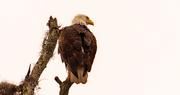 17th Feb 2021 - Bald Eagle on it's Perch!
