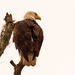 Bald Eagle on it's Perch!