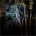 Night, Kowhai by Torchlight