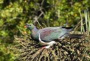 18th Feb 2021 - NZ wood pigeon (kereru)eating cabbage tree berries