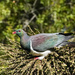 NZ wood pigeon (kereru)eating cabbage tree berries