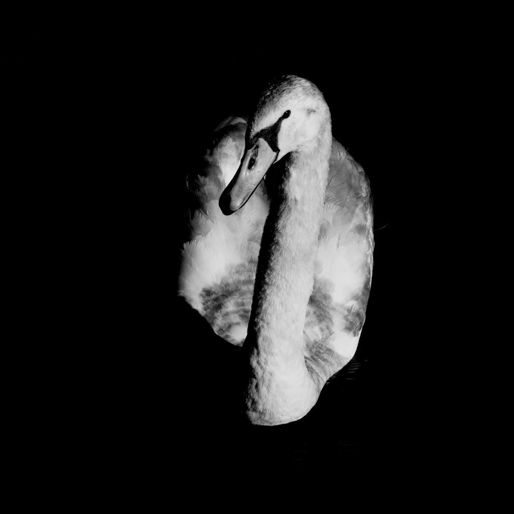 PORTRAIT OF A SWAN by markp