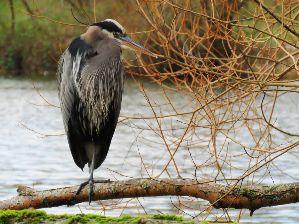 Green Lake Blue Heron by seattlite