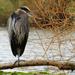 Green Lake Blue Heron