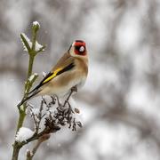 18th Feb 2021 - Goldfinch