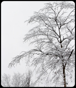 18th Feb 2021 - Tree with snow