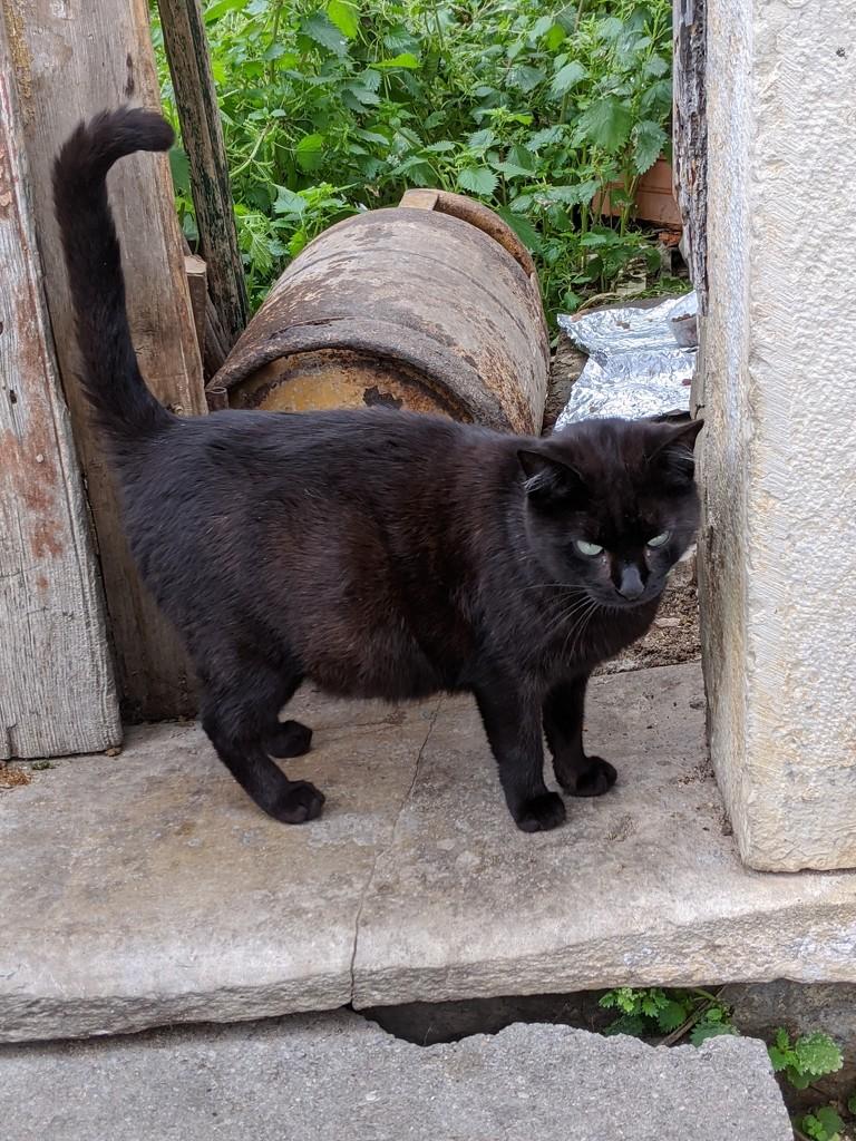 Friendly Fuseta cat by bambilee