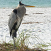 Great Blue Heron by falcon11