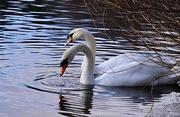18th Feb 2021 - Swan Duo