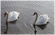 19th Feb 2021 - swans