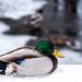 Bruno, the duck 50/365 by dora