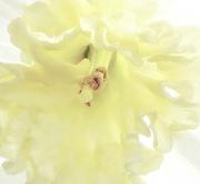 18th Feb 2021 - Daffodil