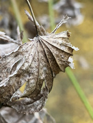 18th Feb 2021 - Seasoned leaf