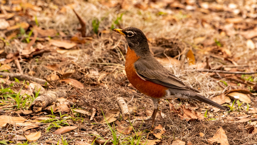 The Robins Have Arrived! by rickster549