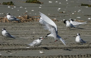 19th Feb 2021 - Breakfast tern style - delivered by air