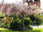 19th Feb 2021 - Just a lovely cherry blossom tree