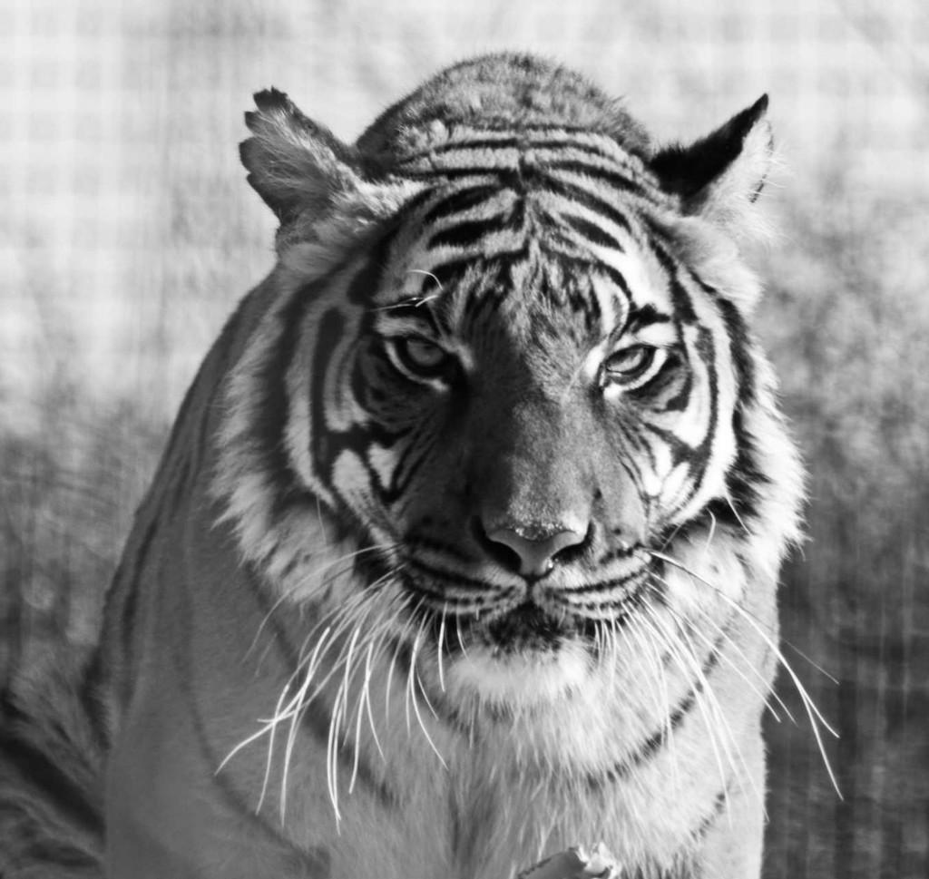 Tiger, tiger ...... by mave