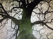 19th Feb 2021 - An old Beech tree.